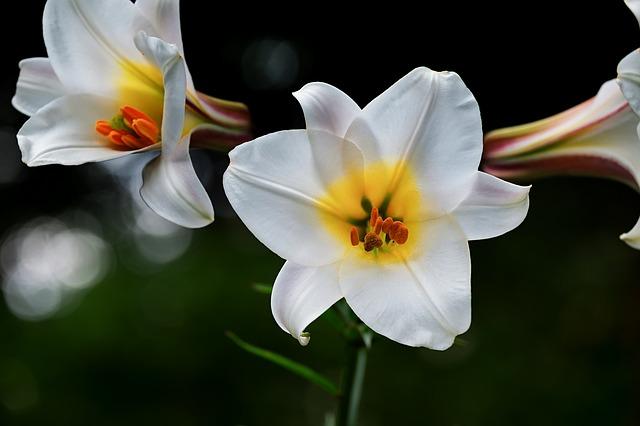 bílý květ lilie
